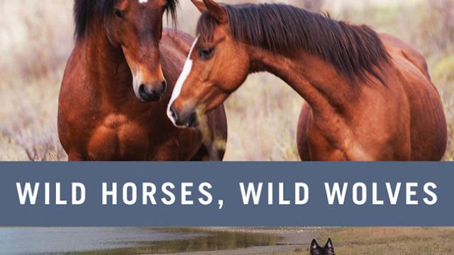 Divocí koně z kanadských Skalnatých hor -dokument