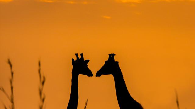 Žirafa: africký obr -dokument