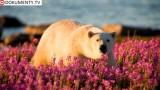 Léto ledních medvědů -dokument