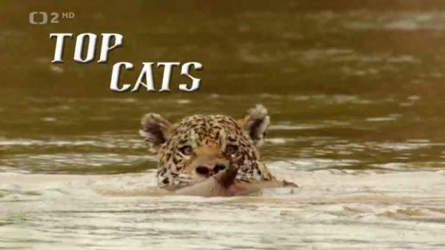 Nejlepší kočka / Nejkrásnější kočkovité šelmy -dokument