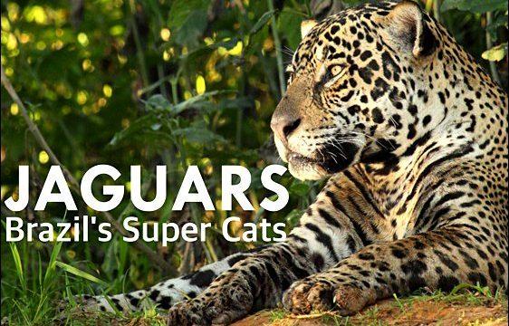 Jaguáři – neohrožené šelmy v ohrožení -dokument