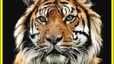 Poslední tygři sumaterští -dokument