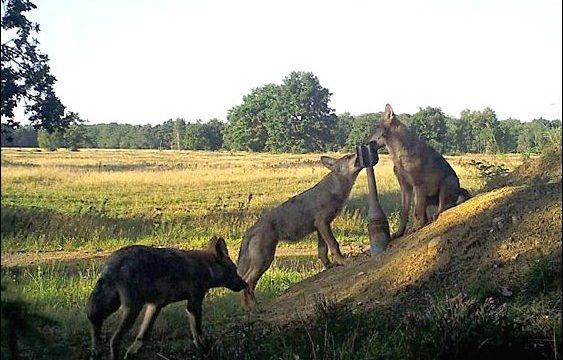 Vlci: Přátelé, nebo hrozba? -dokument